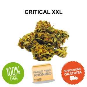 CRITICAL XXL CANAPA LEGALE cbd