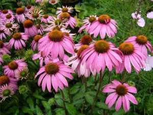 Echinacea: proprietà, benefici e a cosa serve